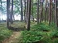 Shelterbelt, Wester Bavelaw. - geograph.org.uk - 53959.jpg