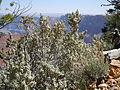 Shepherdia rotundifolia (23940333432).jpg