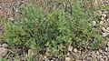 Shrubby Cinquefoil (Dasiphora fruticosa) - Gros Morne National Park, Newfoundland 2019-08-17 (03).jpg