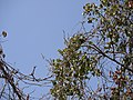 Siali (Punjabi- ਸਿਆਲੀ) (8631076746).jpg