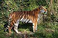 Sibirischer Tiger Panthera tigris altaica Tierpark Hellabrunn-1.jpg