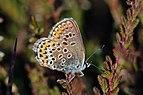 Silver-studded blue (Plebeius argus) female underside 2.jpg