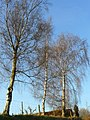 Silver birch in winter 2 - geograph.org.uk - 1187616.jpg