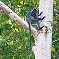 Silvered Leaf Monkey (14157352475).jpg
