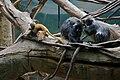 Silvered Leaf Monkey Presbytis cristata Trachypithecus cristatus at Bronx Zoo 3.jpg