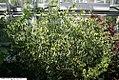Simmondsia chinensis 15zz.jpg