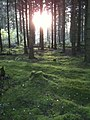 Skovbund med stemningsfuld belysning - panoramio.jpg