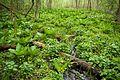 Skunk cabbage and marsh marigolds.jpg
