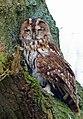 Sleepy Owl (5500098793).jpg