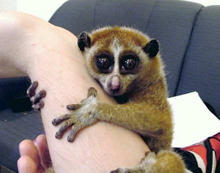 Slow lorises are popular in the exotic pet trade, which threatens wild populations. Slow Loris Female.jpg