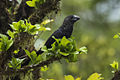 Smooth-billed Ani - Costa Rica MG 8280 (26681029016).jpg