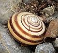 Snail (30692392327).jpg