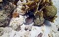 Soapfish Lazy Soapfish napping under some coral (7157593663).jpg