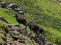 Soay sheep Lundy 4.jpg