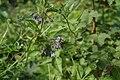 Solanum dulcamara-2.jpg