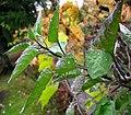 Solanum dulcamara (5386591642).jpg