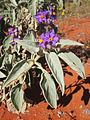 Solanum quadriloculatum flowers.jpg