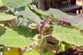 Solanum quitoense IMG 7905.tif