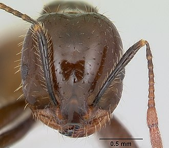 Red imported fire ant - Heads of S. invicta (left) and S. richteri (right). Both ants are similar to each other morphologically and genetically.