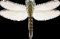 Somatochlora flavomaculata hunn Liljeberg.png