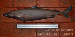 240px somniosus rostratus adult jgf