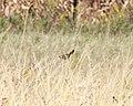 Song Sparrow, McCool's Pond, Indiana, September 29, 2012 (8039554258).jpg