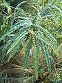 Sophora-godleyi-foliage.jpg