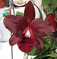 Sophrolealiocattleya Tutankhamun 'Pop' -香港沙田國蘭展 Shatin Orchid Show, Hong Kong- (24870478050).jpg