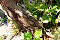 Sorbus-chamaemespilus-bark.JPG