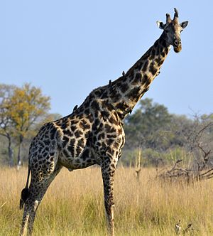 South African giraffe - A bull South African giraffe in the Okavango Delta, Botswana, demonstrating the rounded and blotched spots characteristic of this subspecies.