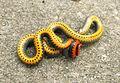 Southern Ringneck snake, Diadophis punctatus.jpg