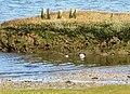 Spartina Marshes. - geograph.org.uk - 372988.jpg