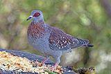 Speckled pigeon (Columba guinea guinea).jpg