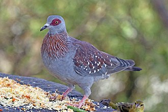 Speckled pigeon - Image: Speckled pigeon (Columba guinea guinea)