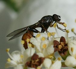 Sphegina spp. (female).jpg