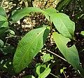 Sphenodesme paniculata 09.JPG