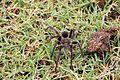 Spider in Arerunguá, Uruguay 2017 001.jpg