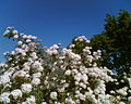 Spiraea × vanhouttei.jpg