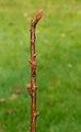 Spiraea japonica 'Goldflame' 01.jpg