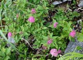 Spiraea japonica s7.jpg