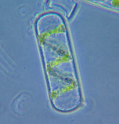 Клетка спирогиры