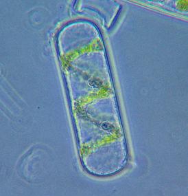 Spirogyra cell