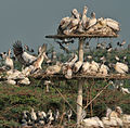 Spot-billed Pelican (Pelecanus philippensis) at nest with chicks in Uppalpadu W IMG 2701.jpg