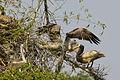 Spot billed pelican feeding.jpg