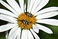 Spotted Maize Beetles (Astylus atromaculatus) on daisy flower.jpg