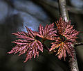 Spring leaves (7169753959).jpg
