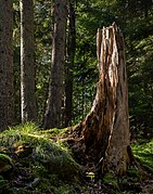 Spruce tree stump in Gullmarsskogen ravine.jpg