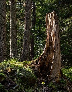 Spruce tree stump in Gullmarsskogen ravine