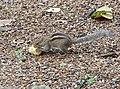 Squirrel in Sri Lanka.jpg