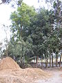 Stack of Hay in Sicha, Gaibandha District.JPG